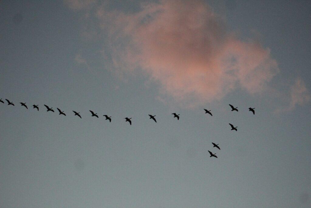 Vögel im Flug vor Wolke